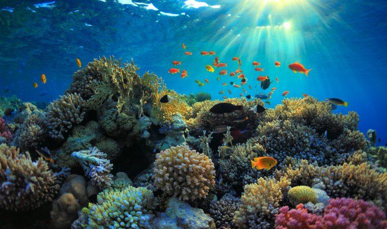 coral small
